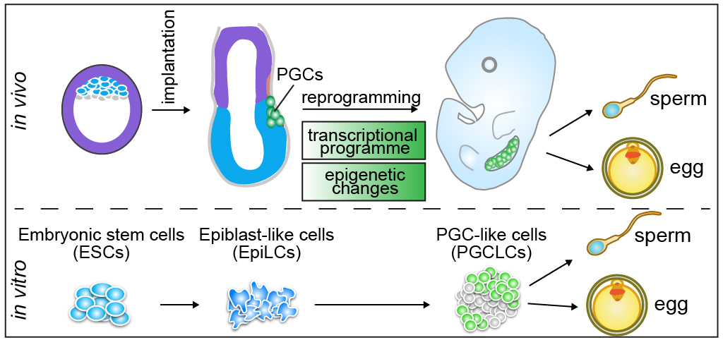 Schematic representation of mouse PGC development in vivo and in vitro.